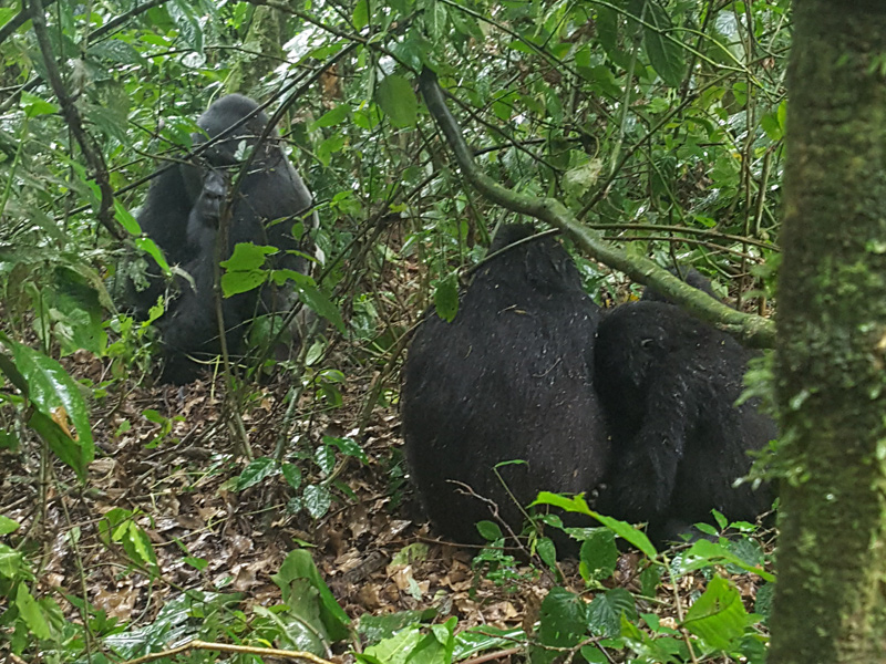 Family of Ugandan gorillas