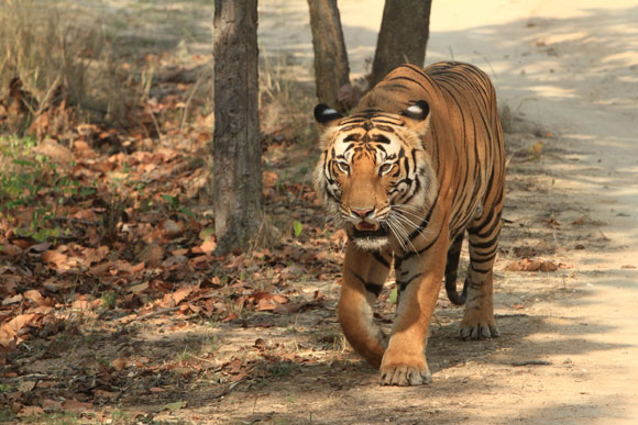 Bandhavgarh-NP-Tiger-India