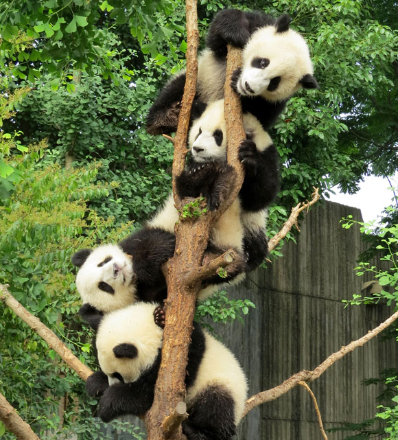 Chengdu-Baby-Pandas-China