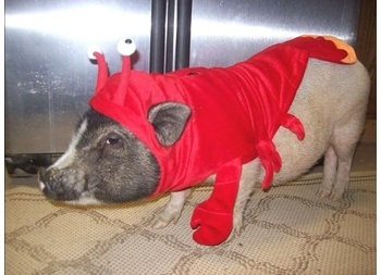 Pig dressed as a lobster to avoid being eaten on New Years Eve in Croatia