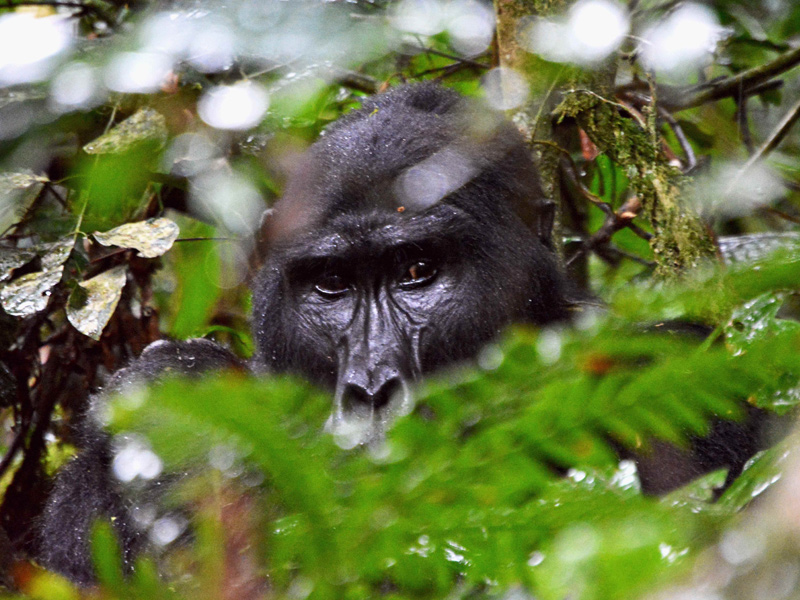 A close encounter with Uganda's gorillas