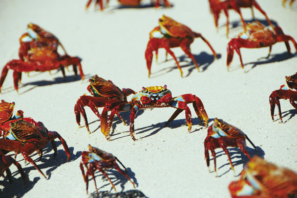 Galapagos-Islands-Sally-Lightfoot-Crabs