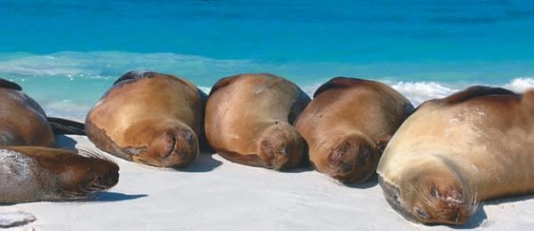Seals sleeping on the beach in the Galapagos Islands