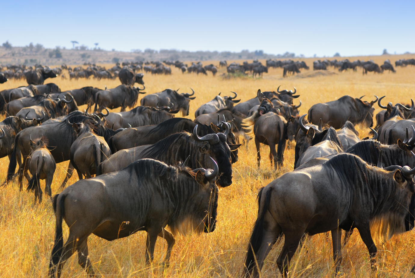 Great migration masai mara kenya wildebeest