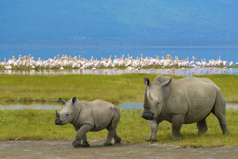 Mother and baby white Rhinos in the Ngorongoro Crater in Tanzania