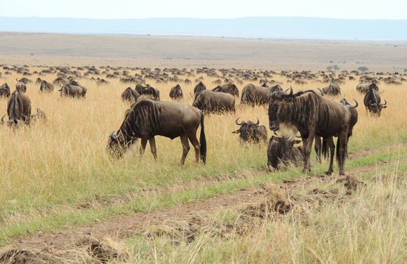 Wildebeest in the Serengeti National Park in Tanzania