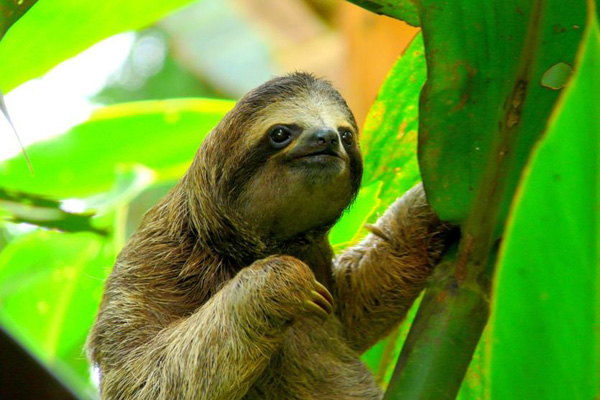 A sloth in the rainforest at Manuel Antonio National  Park in Costa Rica