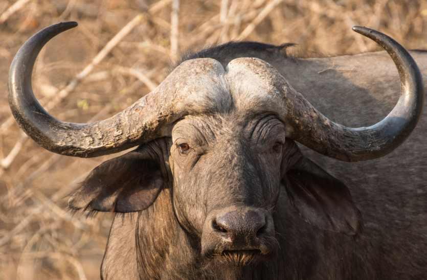 Buffalo in South Luangwa National Park in Zambia