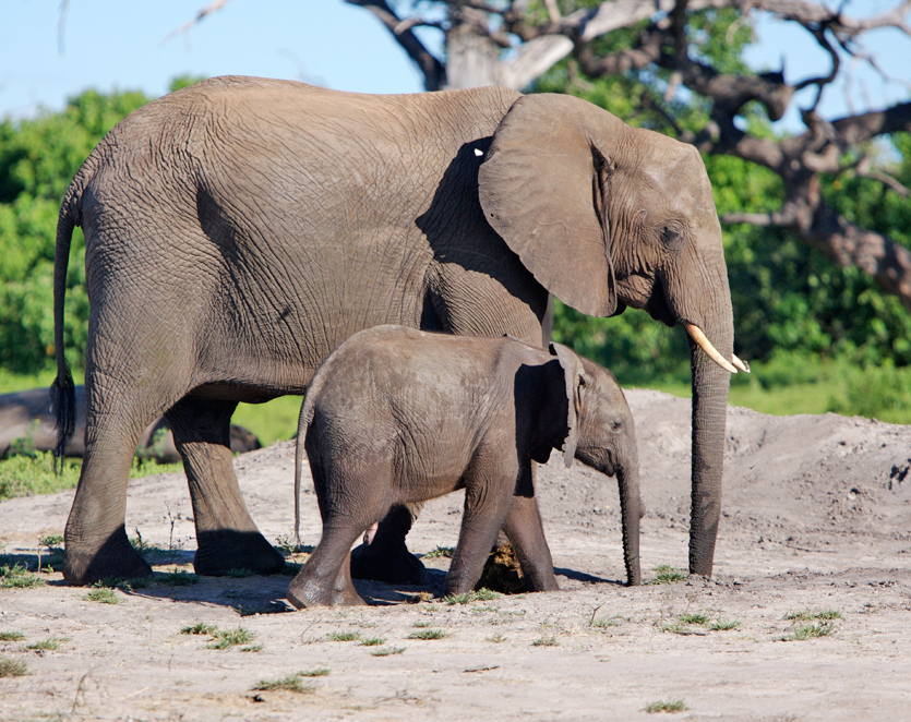 Mother and baby Elephants in South Luangwa National Park in Zambia