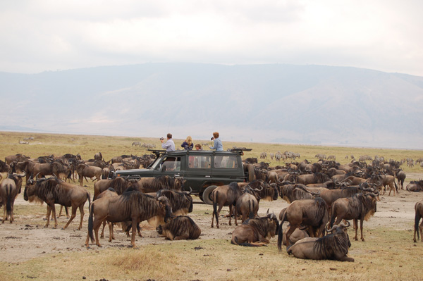 A Family in a jeep on safari in the Serengeti surrounded by Wildebeest