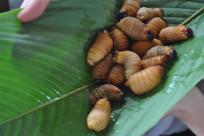 eating grubs in the amazon jungle