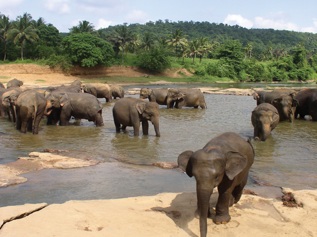 Elephants bathing in a river in Sri Lanka