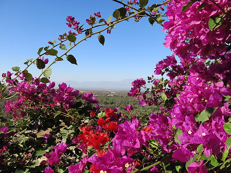 Wild flowers in the Anti- Atlas Mountains