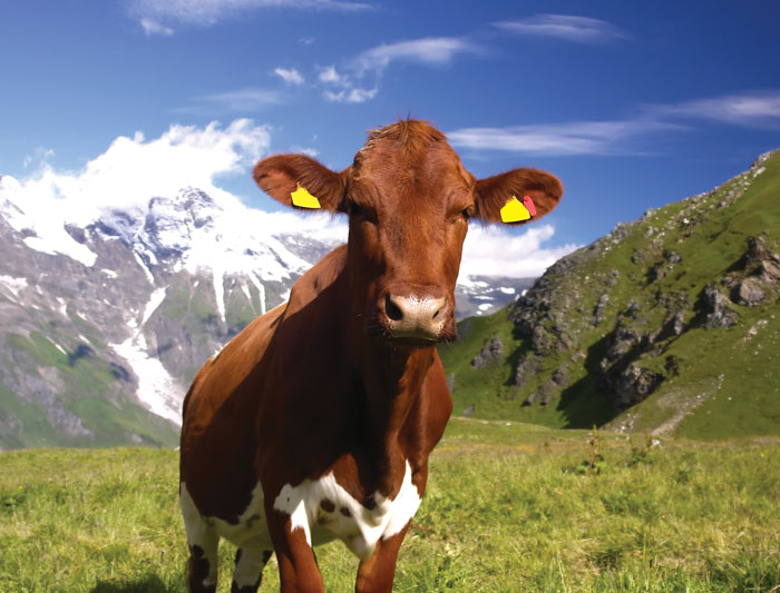 Cow in Europe